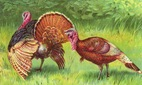 two Thanksgiving turkeys in field