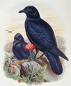 1870_BoB_fasc_18_vol_3_pl_58_Carrion-Crow[1]