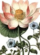 free vintage clip art lotus flower
