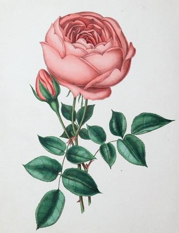 http://vintageholidaycrafts.com/wp-content/uploads/2009/01/free-vintage-clip-art-pink-cabbage-rose.jpg