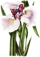 free vintage flower clip art purple bearded iris