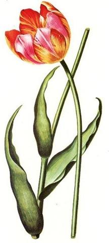 Vintage Tulip Clip Art