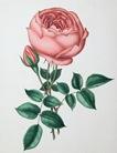 free vintage clip art pink cabbage rose