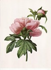 free vintage clip art pink cabbage rose with green leaves