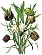 free vintage flower clip art seed pods