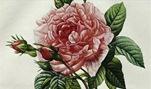 free vintage pink cabbage rose and rosebud clip art