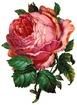 free vintage pink cabbage rose clip art